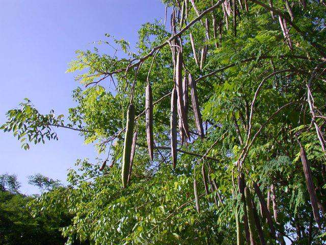 Moringa oleifera coltivazione