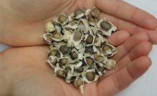 Semi di Moringa Oleifera, benefici per tutto l'organismo