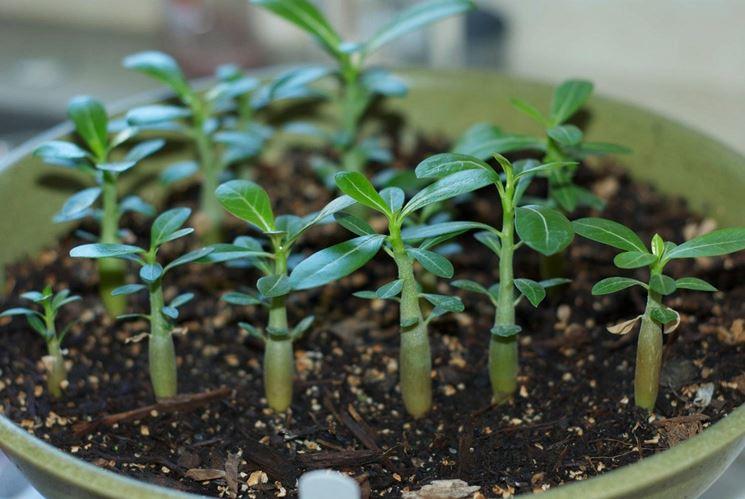 Come coltivare il baobab in casa guida alla coltivazione - Come coltivare il basilico in casa ...