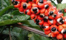 Guarana proprietà, benefici e effetti collaterali