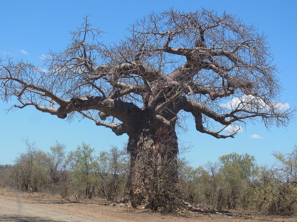 come coltivare il baobab in casa